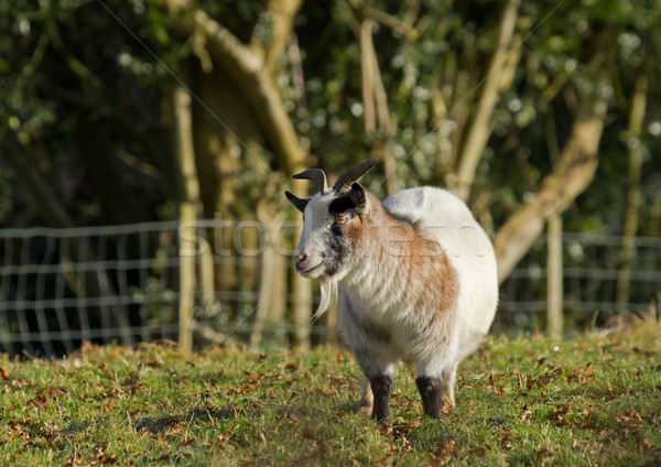 Long-haired Goat Stock photo © suerob