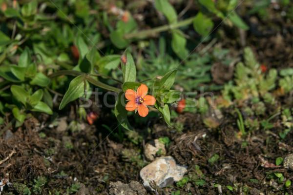 Foto stock: Sussex · flor · vermelho · costa · pequeno