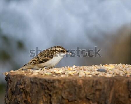 Tabela pássaro semente Foto stock © suerob