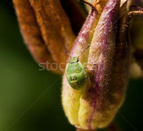 Zöld pajzs rovar makró lövés pici Stock fotó © suerob