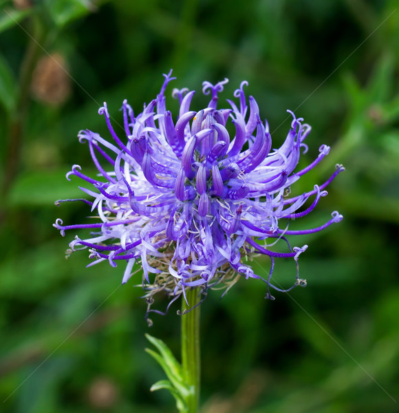 Vadvirág Sussex kréta virág természet Stock fotó © suerob