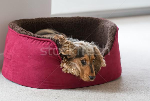 English Cocker Spaniel Lying in Dog Bed Stock photo © suerob