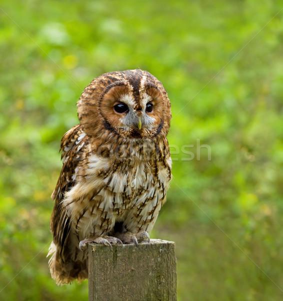 Tawny Owl full length Stock photo © suerob
