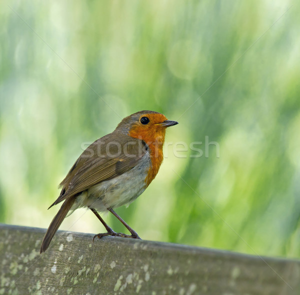 European Robin Perched Stock photo © suerob