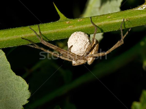 Wolf Spider with Eggs  Stock photo © suerob