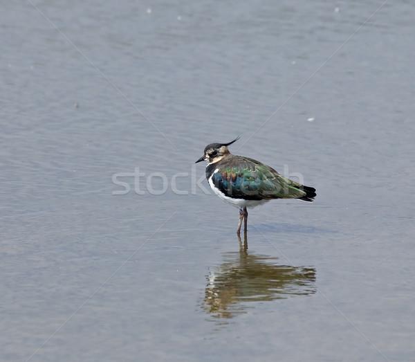 Nord peu profond eau réflexion nature oiseau Photo stock © suerob