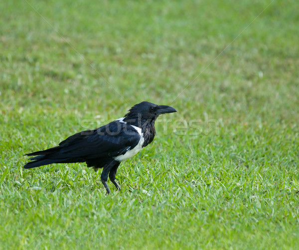 Pied Crow Stock photo © suerob
