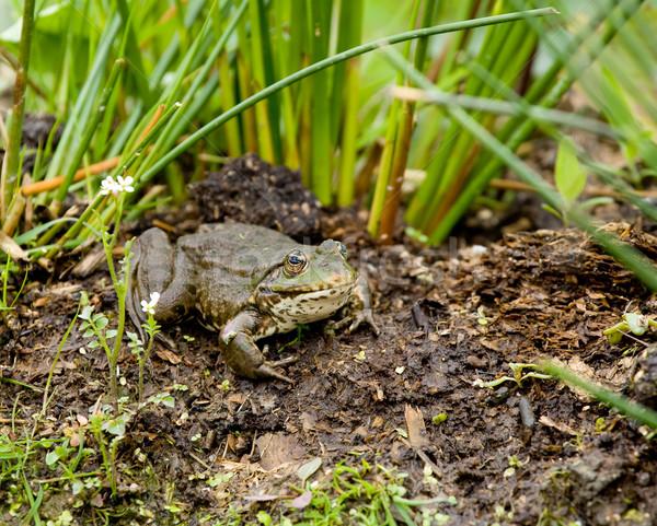Marsh Frog Stock photo © suerob
