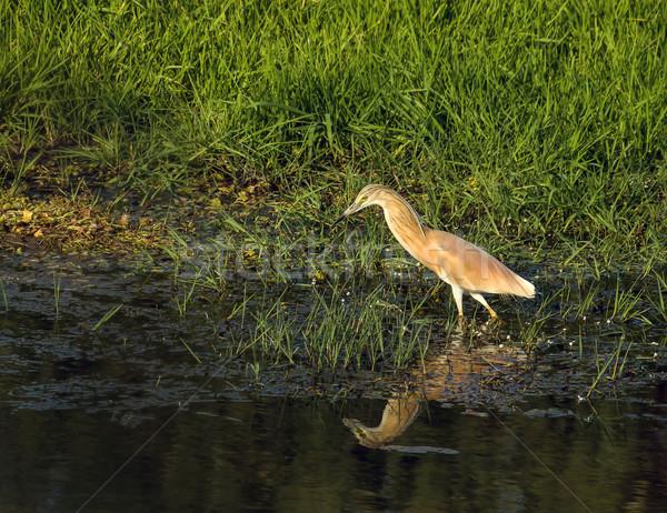 Squacco Heron Stock photo © suerob
