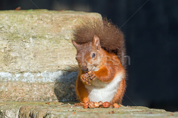 Red Squirrel Eating on Wall Stock photo © suerob