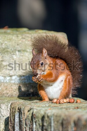 Red Squirrel on Wall Stock photo © suerob