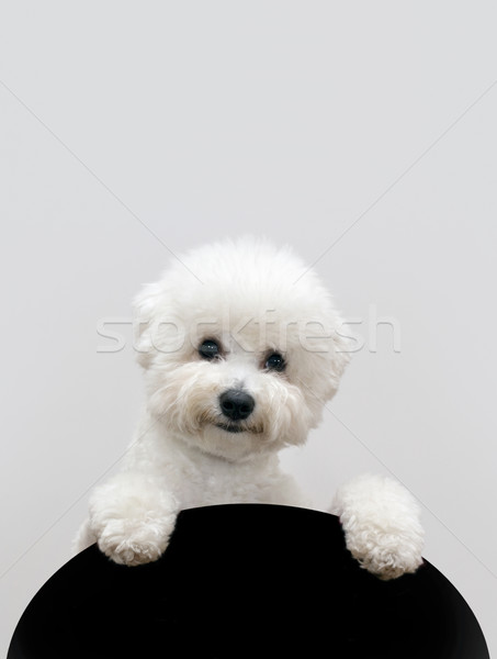 Bichon dog Stock photo © Suljo