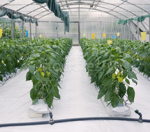 üvegház zöld paprikák ipar növény zöldség Stock fotó © Suljo