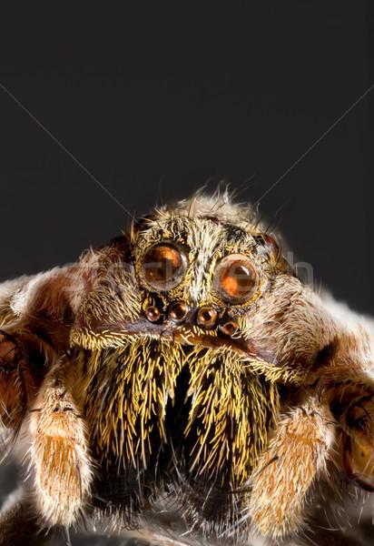 Wolf Spider Cutout Stock photo © Suljo