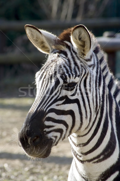 зебры голову аннотация жизни кожи кожа Сток-фото © Suljo