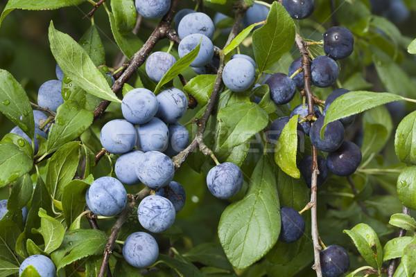 Prunus Spinosa Branch Stock photo © Suljo