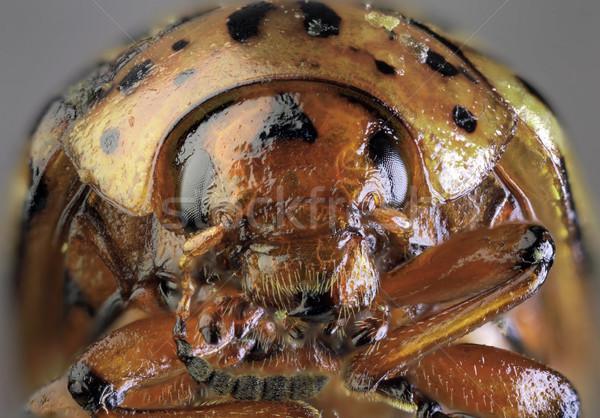 Krumpli rovar makró bogár alacsony mérleg Stock fotó © Suljo