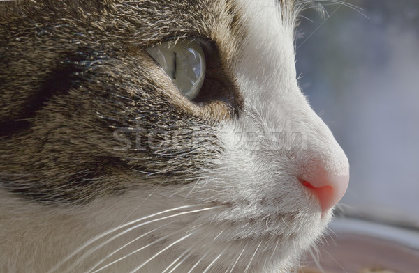 Sneaky Domestic Cat Stock photo © Suljo