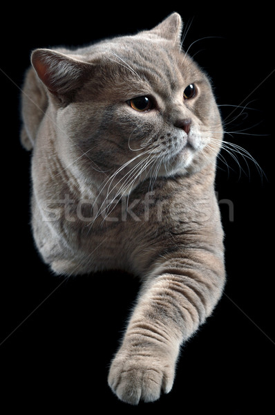 British Shorthair Cat Cutout Stock photo © Suljo