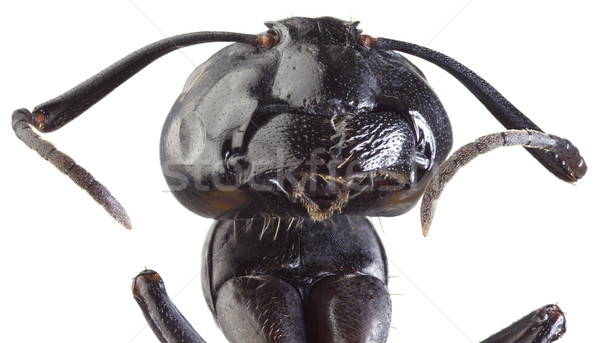 Black Ant Cutout Stock photo © Suljo