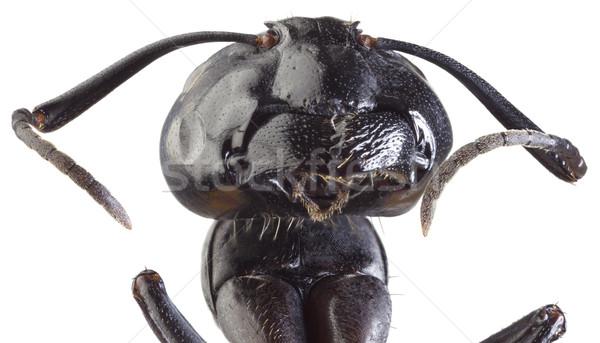 Fekete hangya kivágás alacsony mérleg nagyítás Stock fotó © Suljo