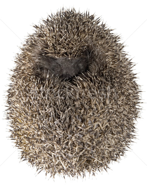 Dreamy Hedgehog Stock photo © Suljo