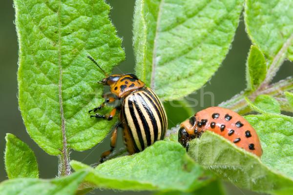 Colorado krumpli bogár levél állat rovar Stock fotó © Suljo