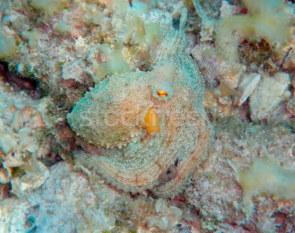 Mediterranean octopus Stock photo © Suljo