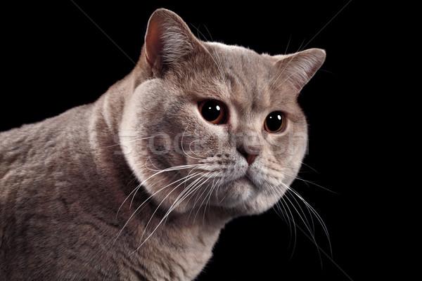 Britannique cheveux courts chat isolé noir Photo stock © Suljo
