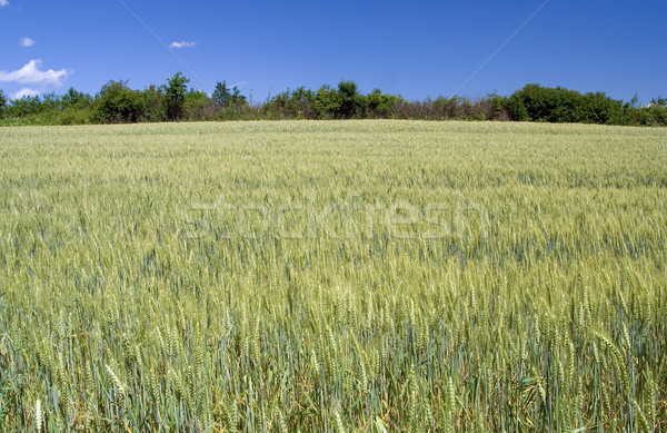 Barley Field Stock photo © Suljo
