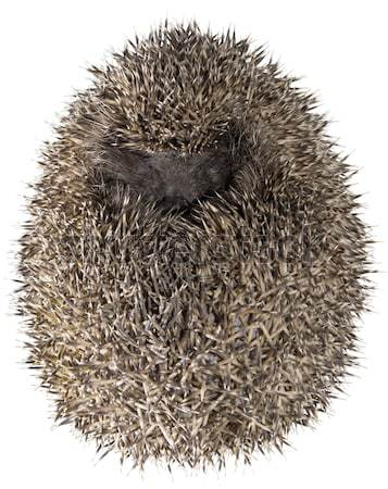 Hedgehog, Erinaceus Europaeus Stock photo © Suljo