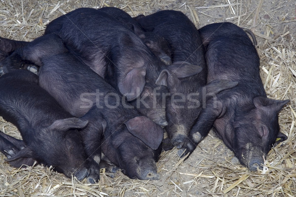 Black Pigs Stock photo © Suljo
