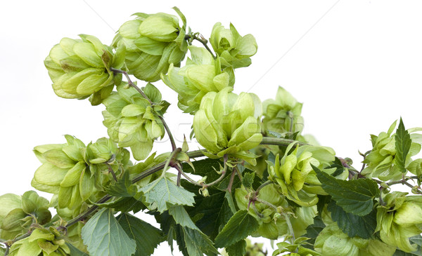 Stock photo: Wild Hop Cutout