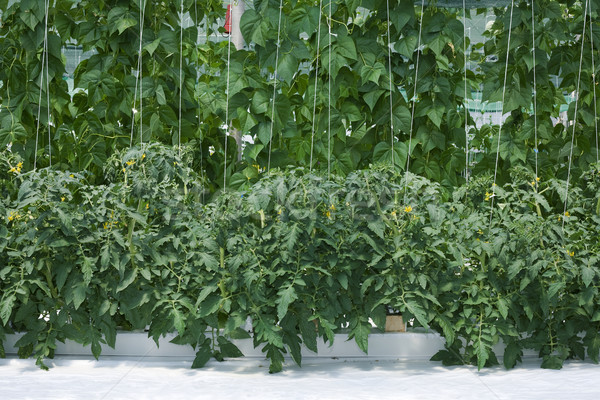 Growth Hydroponic Hothouse Stock photo © Suljo