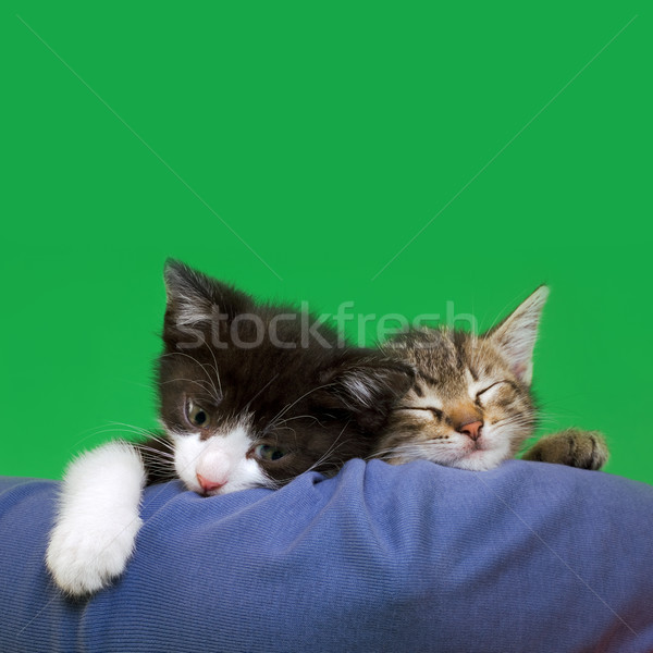 Two Domestic Cats Stock photo © Suljo