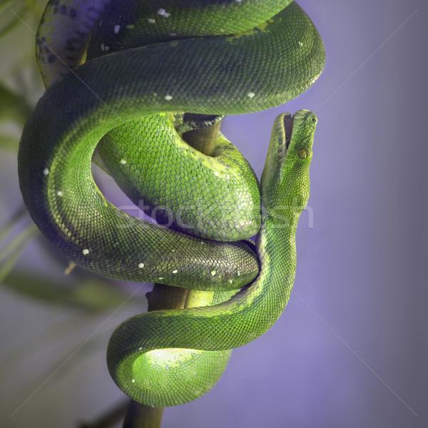 Green Tree Pyton Stock photo © Suljo