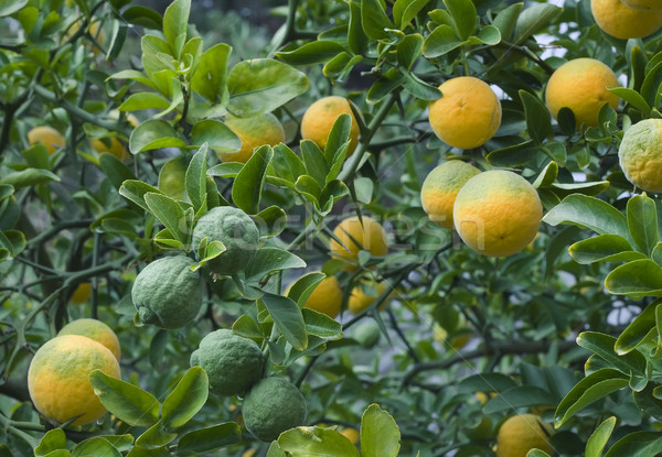 árvore frutífera japonês amargo laranja cítrico árvore Foto stock © Suljo