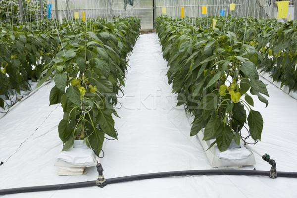 Broeikas groene paprika tuin industrie plant Stockfoto © Suljo