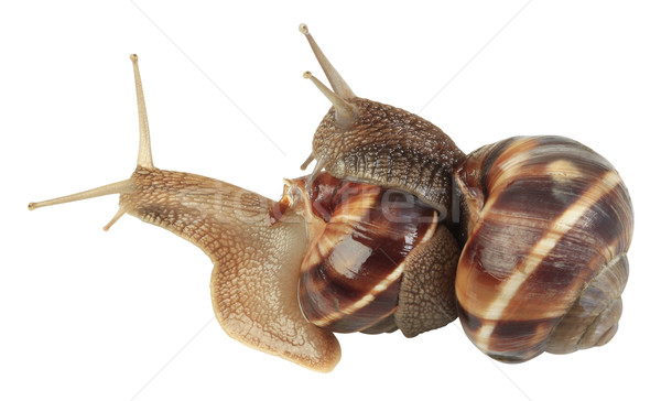 Snails Mating Stock photo © Suljo