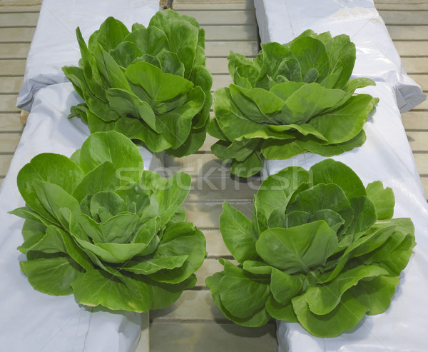 Lettuce Hydroponic Pillars Stock photo © Suljo