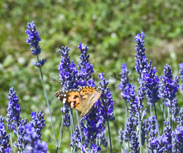 Lavander Flower Polination Stock photo © Suljo