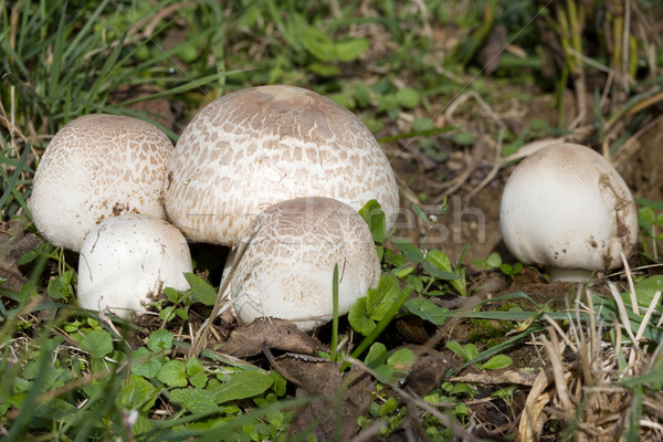 Meadow Mushroom Stock photo © Suljo