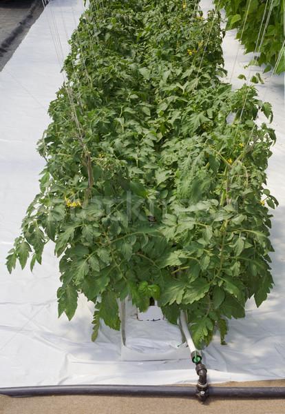 Tomates estufa comida jardim verão fazenda Foto stock © Suljo