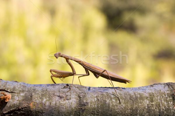 Bruin groot bidden benen scary Stockfoto © Suljo