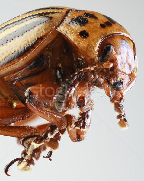 Colorado Beetle Macro Stock photo © Suljo