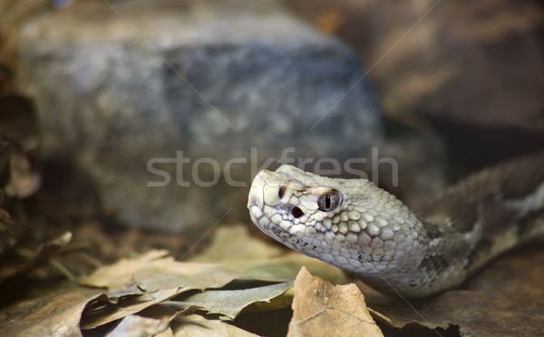 Timber Rattlesnake Stock photo © Suljo