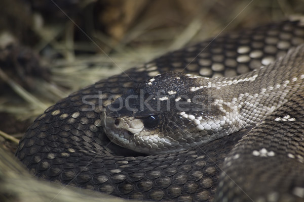 Mexican Black Tailed Rattlesnake Stock photo © Suljo