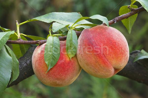 Pêssegos maduro ramo natureza folha fruto Foto stock © Suljo