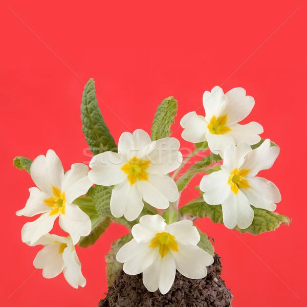 Prímula primavera flores isolado vermelho flor Foto stock © Suljo