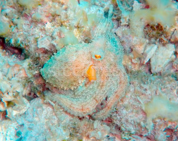 Mediterraneo polpo mare subacquea scary marine Foto d'archivio © Suljo